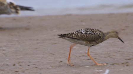 ridibundus : Bird female ruff (Calidris pugnax) walks through the sandbanks. She searches for food and eats it. Stock Footage