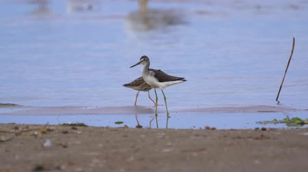 greenshank : Bird female ruff (Calidris pugnax) walks through the sandbanks. She searches for food and eats it. Stock Footage