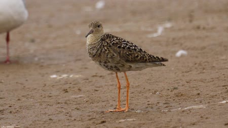 stěhovavý : Bird female ruff (Calidris pugnax) standing on the sandy shore and resting. Close-up. Dostupné videozáznamy
