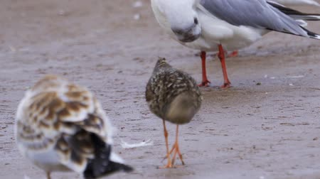 migratory birds : Bird female ruff (Calidris pugnax) walks through the sandbanks. She searches for food and eats it. Stock Footage
