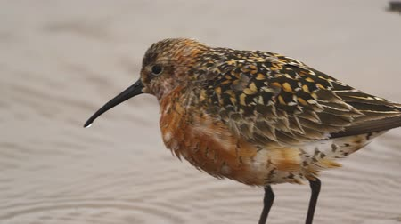 calidris ferruginea : Bird - curlew sandpiper (Calidris ferruginea) walk through water and on sandbanks. Close-up.