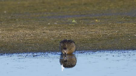 stěhovavý : Bird - young Gadwall (Mareca strepera) walking through the swamp, she eats and cleans its feathers.