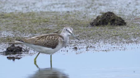 ingovány : Bird - common greenshank (Tringa nebularia) walks through the swamp. Bird searches for food and eats it. Stock mozgókép