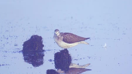 миграционный : Bird - common greenshank (Tringa nebularia) stands in a swamp and rests.