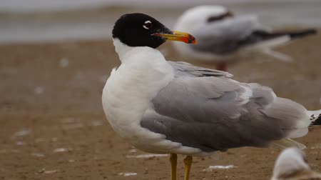 migratory birds : Bird - great black-headed gull (Larus ichthyaetus) stands on a sandbank and shallow water. Close-up.