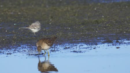 morass : Bird - Wood Sandpiper (Tringa glareola) walks through the swamp. Bird searches for food and eats it.