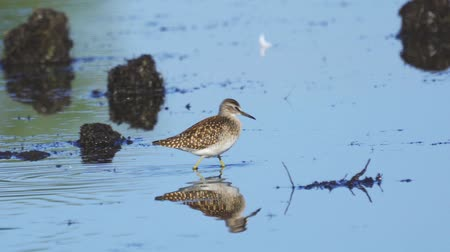 stěhovavý : Bird - Wood Sandpiper (Tringa glareola) walks through the swamp. Bird searches for food and eats it.