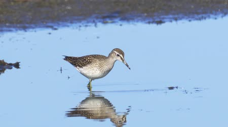 ingovány : Bird - Wood Sandpiper (Tringa glareola) walks through the swamp. Bird searches for food and eats it.