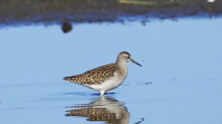 swale : Bird - Wood Sandpiper (Tringa glareola) walks through the swamp. Bird searches for food and eats it.
