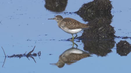 swale : Bird - Wood Sandpiper (Tringa glareola) stands in a swamp and rests.