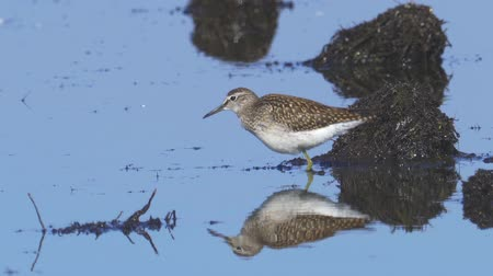 ingovány : Bird - Wood Sandpiper (Tringa glareola) stands in a swamp and rests.