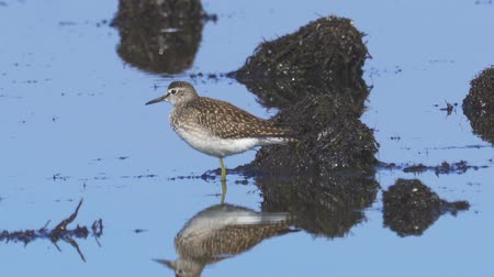 morass : Bird - Wood Sandpiper (Tringa glareola) stands in a swamp and rests.