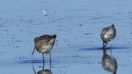 stěhovavý : Bird - Black-tailed Godwit (Limosa limosa) walks through the swamp. Bird searches for food and eats it.