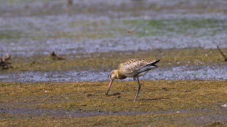 limosa : Bird - Black-tailed Godwit (Limosa limosa) stands in a swamp and rests.