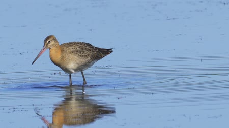 ingovány : Bird - Black-tailed Godwit (Limosa limosa) walks through the swamp. Bird searches for food and eats it.