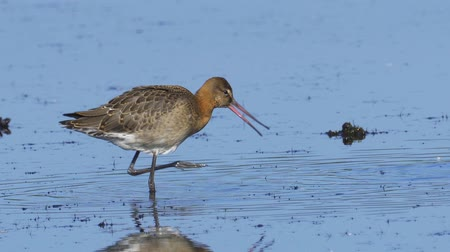 limosa : Bird - Black-tailed Godwit (Limosa limosa) walks through the swamp. Bird searches for food and eats it.