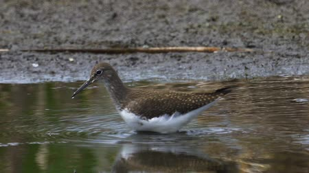 ingovány : Bird - Green Sandpiper (Tringa ochropus) walks through the swamp. Bird searches for food and eats it. Stock mozgókép