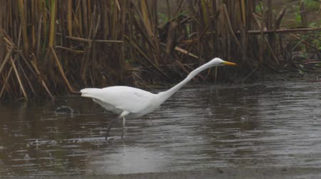 swale : Bird - Great White Egret (Ardea alba) walks through the swamp. The bird catches small fish and eat it. A rainy day. Stock Footage
