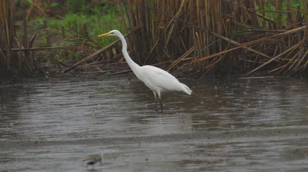stěhovavý : Bird - Great White Egret (Ardea alba) walks through the swamp. The bird catches small fish and eat it. A rainy day. Dostupné videozáznamy