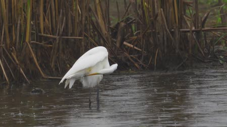 swale : Bird - Great White Egret (Ardea alba) standing and resting in a swamp. A bird cleans its feathers. A rainy day. Close-up.