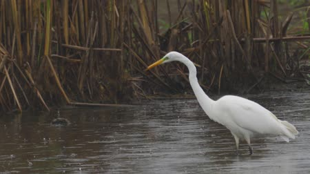 morass : Bird - Great White Egret (Ardea alba) walks through the swamp. The bird catches small fish and eat it. A rainy day. Stock Footage