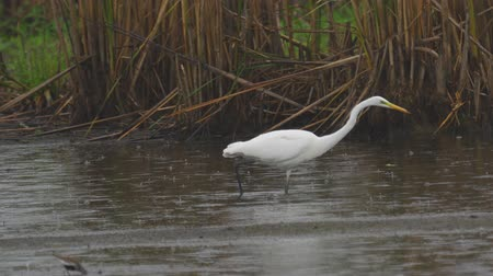 migratory birds : Bird - Great White Egret (Ardea alba) walks through the swamp. The bird catches small fish and eat it. A rainy day. Stock Footage