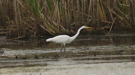 ingovány : Bird - Great White Egret (Ardea alba) walks through the swamp. The bird catches small fish and eat it. Cloudy day.