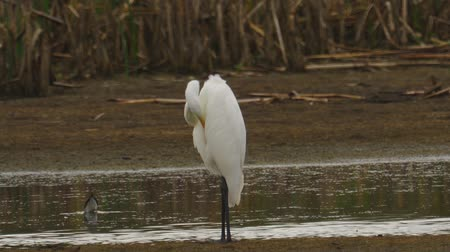 migratory birds : Bird - Great White Egret (Ardea alba) standing and resting in a swamp. A bird cleans its feathers. Cloudy day. Close-up.