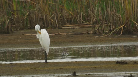 ingovány : Bird - Great White Egret (Ardea alba) standing and resting in a swamp. A bird cleans its feathers. Cloudy day. Stock mozgókép