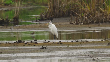 swale : Bird - Great White Egret (Ardea alba) standing and resting in a swamp. A bird cleans its feathers. Cloudy day. Stock Footage