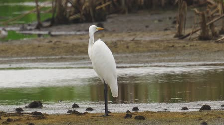ingovány : Bird - Great White Egret (Ardea alba) standing and resting in a swamp. A bird cleans its feathers. Cloudy day. Close-up.