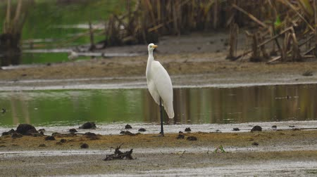 morass : Bird - Great White Egret (Ardea alba) standing and resting in a swamp. A bird cleans its feathers. Cloudy day. Stock Footage