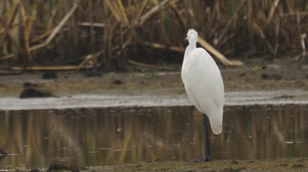 swale : Bird - Great White Egret (Ardea alba) standing and resting in a swamp. A bird cleans its feathers. Cloudy day. Close-up.