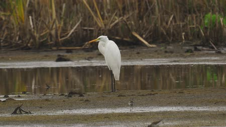 migratory birds : Bird - Great White Egret (Ardea alba) standing and resting in a swamp. A bird cleans its feathers. Cloudy day. Stock Footage