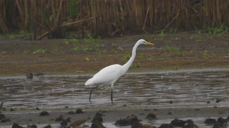 ingovány : Bird - Great White Egret (Ardea alba) walks through the swamp. The bird catches small fish and eat it. A rainy day. Stock mozgókép