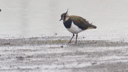 stěhovavý : Bird - Northern Lapwing (Vanellus vanellus) walks through the swamp. Bird searches for food and eats it. Dostupné videozáznamy