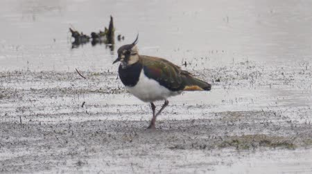 morass : Bird - Northern Lapwing (Vanellus vanellus) walks through the swamp. Bird searches for food and eats it. Stock Footage