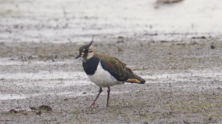 ingovány : Bird - Northern Lapwing (Vanellus vanellus) walks through the swamp. Bird searches for food and eats it. Stock mozgókép
