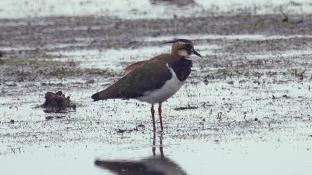 swale : Bird - Northern Lapwing (Vanellus vanellus) stands in a swamp and rests.
