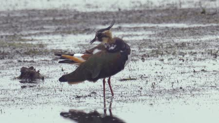 stěhovavý : Bird - Northern Lapwing (Vanellus vanellus) stands in a swamp and rests.