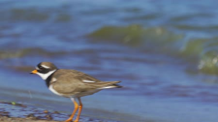 tlapky : A bird - Common Ringed Plover (Charadrius hiaticula) walks along the sandy shore near the water. Sunny summer morning.