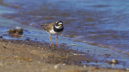 shorebird : A bird - Common Ringed Plover (Charadrius hiaticula) walks along the sandy shore near the water. Sunny summer morning.