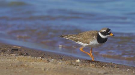 shorebird : A bird - Common Ringed Plover (Charadrius hiaticula) walks along the sandy shore near the water. Sunny summer morning. Close-up.