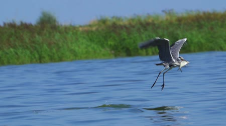 brodění : A bird - a gray heron (Ardea cinerea) flies on a lake. A heron is hunting fish. A heron grabs a flying fish.