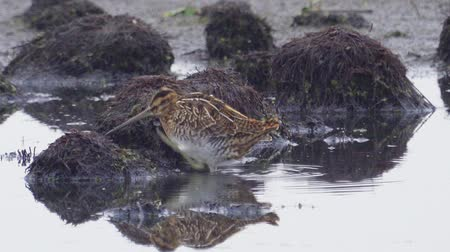 миграционный : Bird - Common Snipe (Gallinago gallinago) hiding behind bumps in a swamp. Стоковые видеозаписи