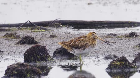 stěhovavý : Bird - Common Snipe (Gallinago gallinago) hiding behind bumps in a swamp, stands and cleans feathers.
