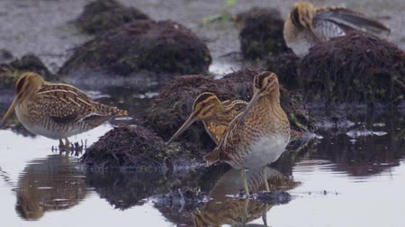 птицы : Flock of birds - Common Snipe (Gallinago gallinago) walk through the swamp among the bumps.
