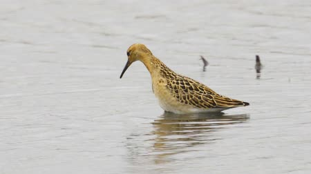 çamur : Bird - young Ruff (Calidris pugnax) walking through the swamp, looking for food and eating it. Stok Video
