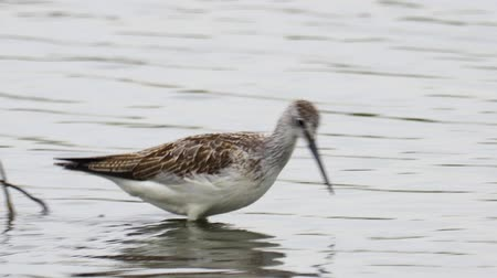 yağmur yağıyor : Bird - common greenshank (Tringa nebularia) walks through the swamp. Bird searches for food and eats it. Stok Video