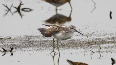 migratory birds : Bird - common greenshank (Tringa nebularia) stands in a swamp and rests.